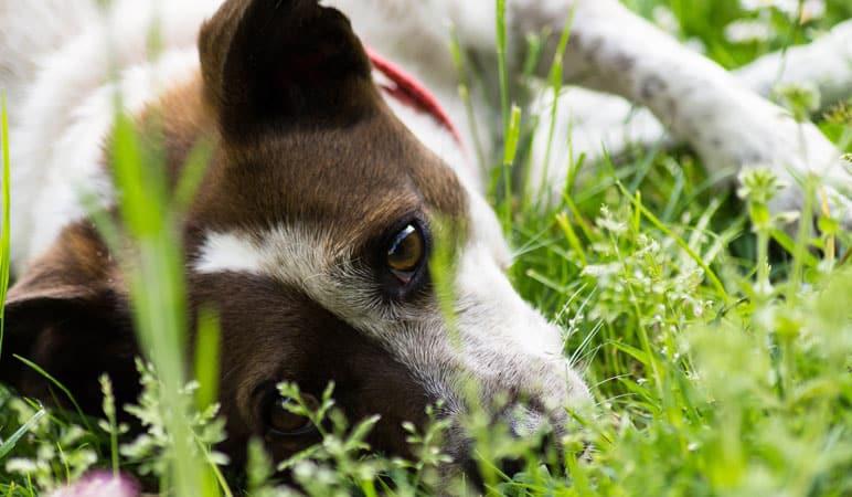 cachorro deitado na grama