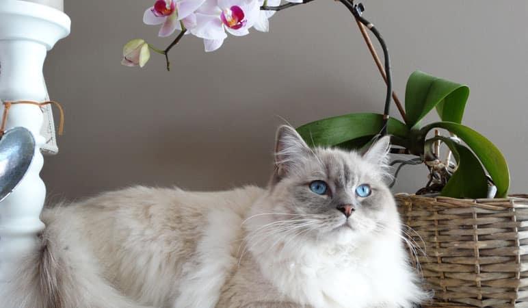 gato deitado com vaso de orquidea
