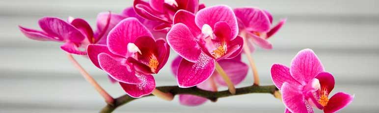 Cuidando de uma orquídea