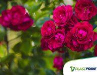 Como cultivar rosas em casa?