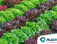 Como plantar alface em casa?