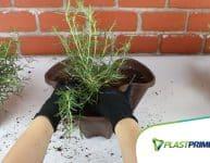 Dicas de como plantar alecrim em vaso